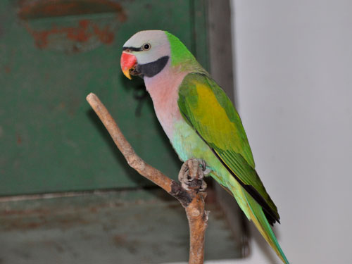 Moustached parakeet