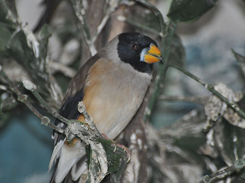 Yellow-billed grosbeak