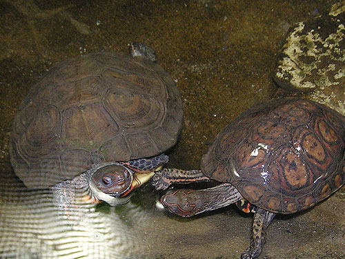 Neotropical painted wood turtle