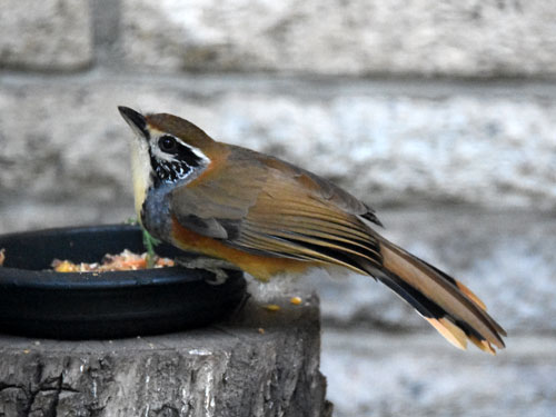 photo Greater necklaced laughing thrush / <span class='cursive'>Garrulax pectoralis</span>