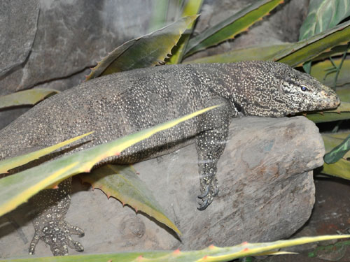 photo Clouded monitor / <span class='cursive'>Varanus bengalensis</span>