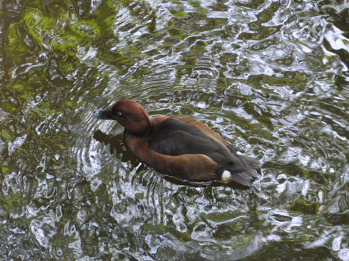 photo Ferruginous duck / <span class='cursive'>Aythya nyroca</span>