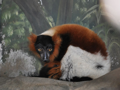 photo Ruffed lemur / <span class='cursive'>Varecia hybrid</span>