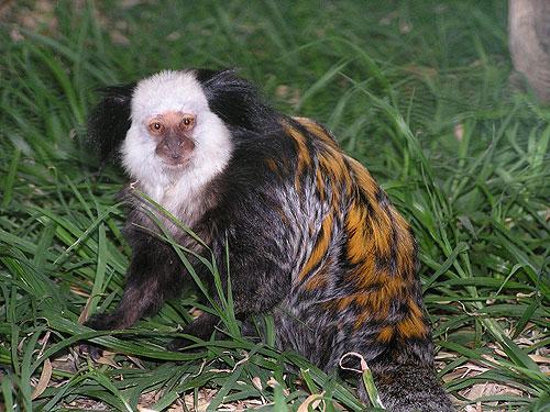 Callithrix geoffroyi / White-fronted marmoset in Hai Park