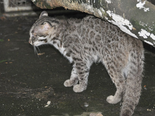 photo Chinese leopard cat / <span class='cursive'>Prionailurus bengalensis chinensis</span>