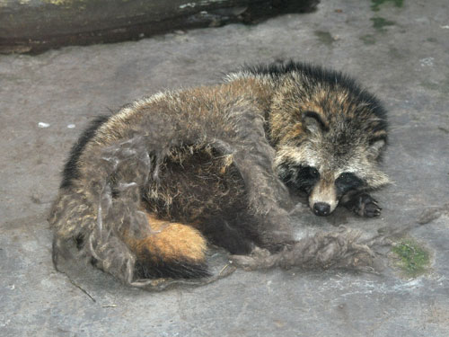 photo Raccoon dog / <span class='cursive'>Nyctereutes procyonoides procyonoides</span>