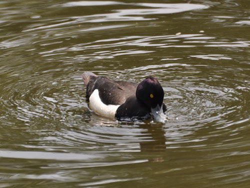 photo Tufted duck / <span class='cursive'>Aythya fuligula</span>