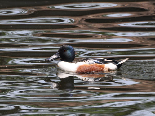 photo Common shoveler / <span class='cursive'>Spatula clypeata</span>