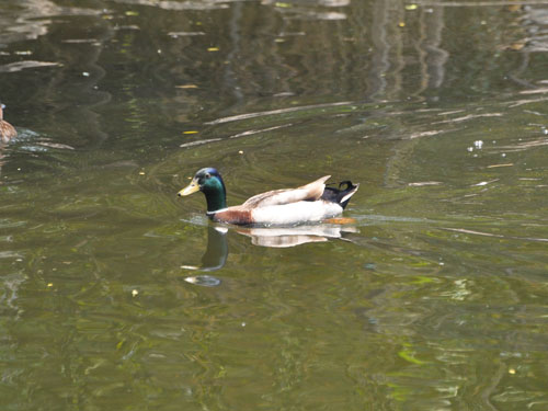photo Mallard / <span class='cursive'>Anas platyrhynchos</span>