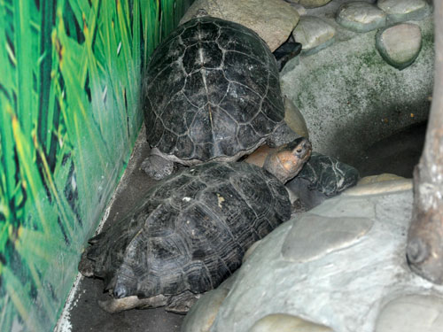 Giant Asian pond turtle