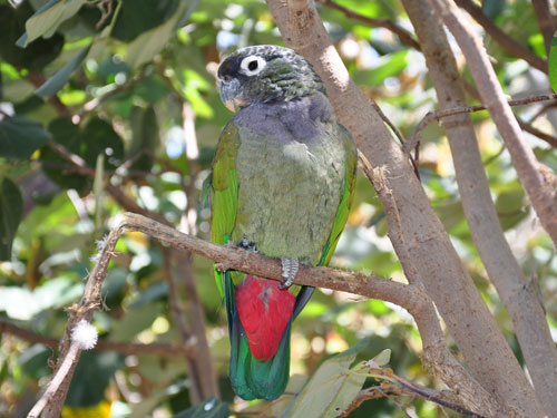 Scaly-headed parrot