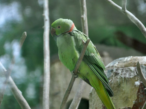 photo Indian rose-ringed parakeet / <span class='cursive'>Psittacula krameri borealis</span>
