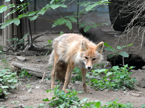 photo Chinese red fox / <span class='cursive'>Vulpes vulpes ssp</span>