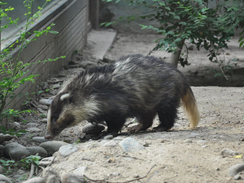Northern hog badger