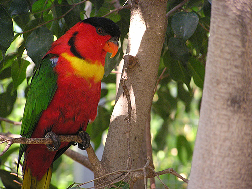 Yellow-bibbed lory