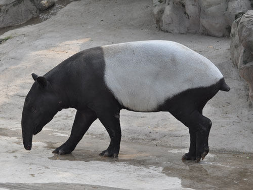 photo Malayan tapir / <span class='cursive'>Tapirus indicus</span>