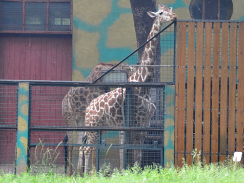 photo <span class='cursive'>Giraffa camelopardalis reticulata</span> / Reticulated giraffe