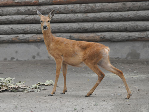 Eastern roe deer