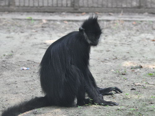 photo Francois' monkey / <span class='cursive'>Trachypithecus francoisi</span>