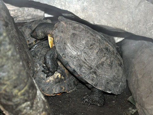 Black wood turtle