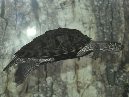 photo Ouachita map turtle / <span class='cursive'>Graptemys ouachitensis ouachitensis</span>