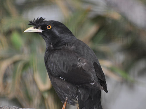 photo Crested mynah / <span class='cursive'>Acridotheres cristatellus</span>