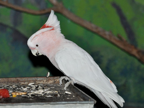 photo Major Mitchell's cockatoo / <span class='cursive'>Cacatua leadbeateri leadbeateri</span>
