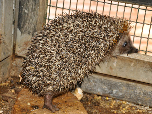 photo Eastern European hedgehog / <span class='cursive'>Erinaceus concolor concolor</span>