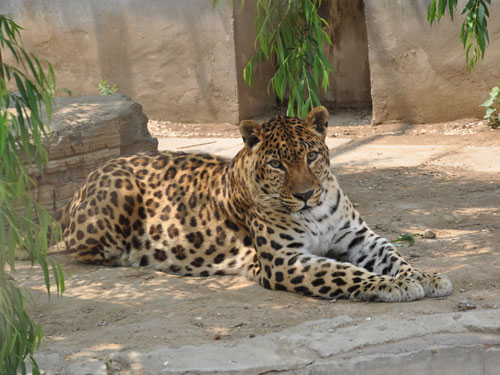 photo Leopard / <span class='cursive'>Panthera pardus</span>