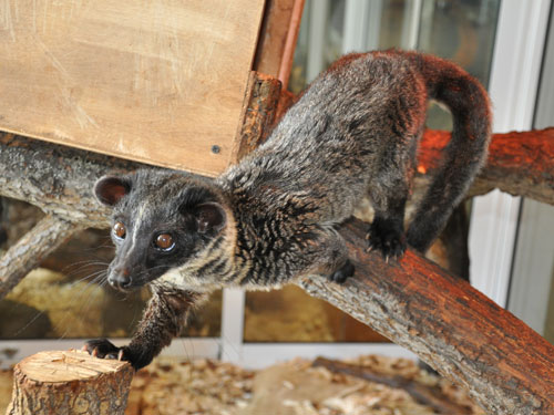 Three-striped palm civet