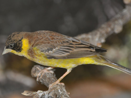 photo Black-headed bunting / <span class='cursive'>Emberiza melanocephala</span>