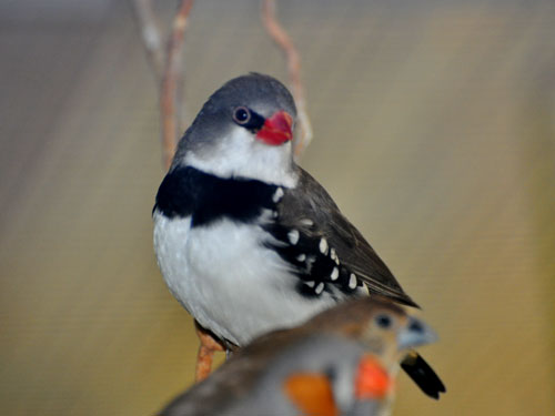 photo Diamond firetail finch / <span class='cursive'>Stagonopleura guttata</span>