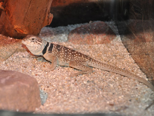 Mojave black-collared lizard