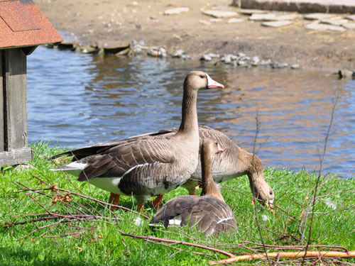 photo Anser albifrons / White-fronted goose