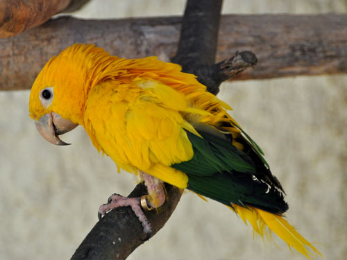 photo Golden conure / <span class='cursive'>Guaruba guarouba</span>