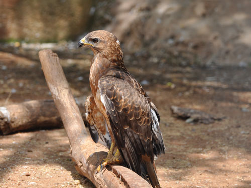 Eurasian common buzzard