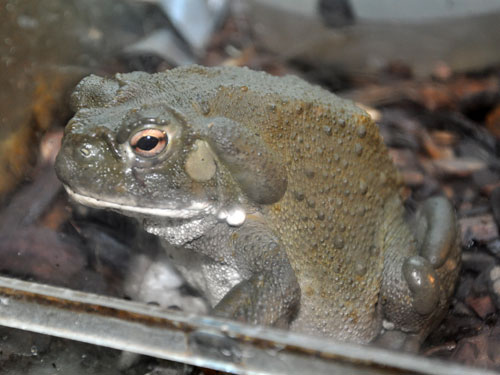 photo Incilius alvarius / Colorado River toad