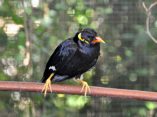 photo Hill mynah / <span class='cursive'>Gracula religiosa religiosa</span>