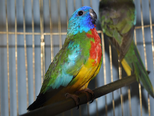 photo Scarlet-chested parrot / <span class='cursive'>Neophema splendida</span>