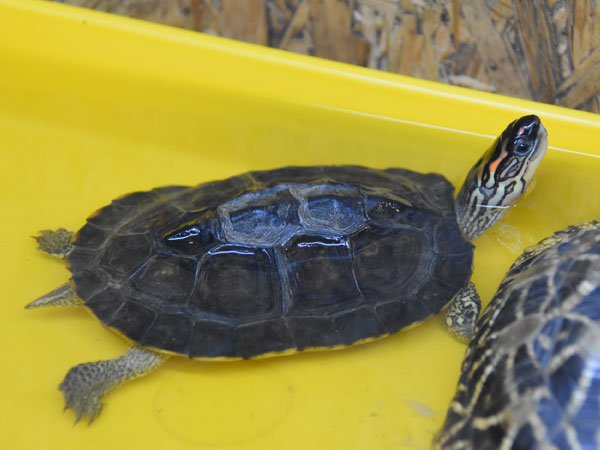 photo Spotted-legged turtle / <span class='cursive'>Rhinoclemmys punctularia</span>