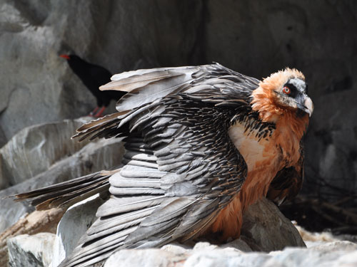 photo Bearded vulture / <span class='cursive'>Gypaetus barbatus</span>