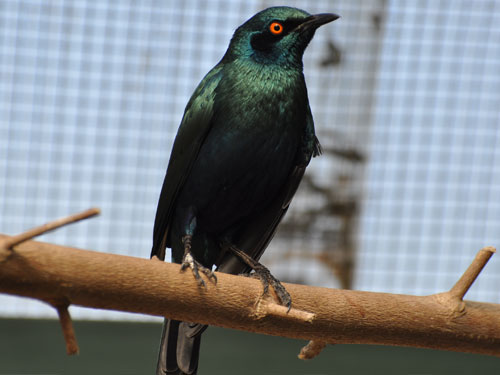 photo Cape glossy starling / <span class='cursive'>Lamprotornis nitens</span>