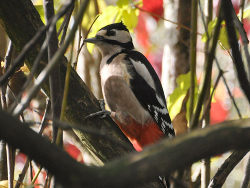 photo Great spotted woodpecker / <span class='cursive'>Picoides major</span>