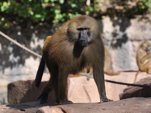 photo Guinea baboon / <span class='cursive'>Papio papio</span>