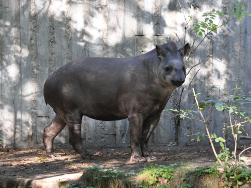 photo South American tapir / <span class='cursive'>Tapirus terrestris</span>