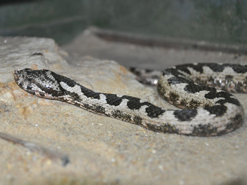 Long-nosed viper