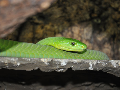 photo East African green mamba / <span class='cursive'>Dendroaspis angusticeps</span>