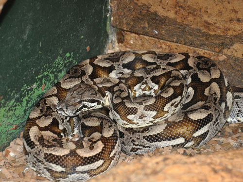 Dumeril's ground boa