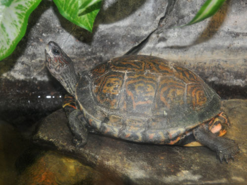 photo Neotropical painted wood turtle / <span class='cursive'>Rhinoclemmys pulcherrima</span>