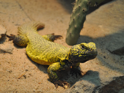 photo Dabb spiny-tailed lizard / <span class='cursive'>Uromastyx acanthinura</span>